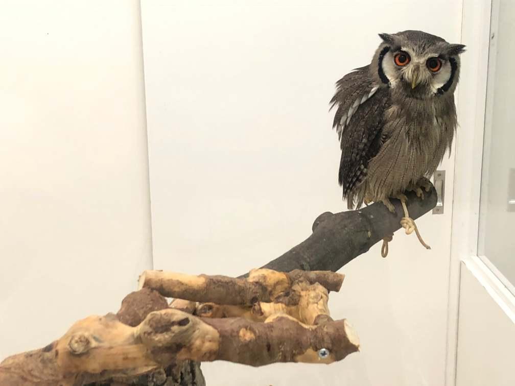 隠蔽型擬態:アフリカオオコノハズク
