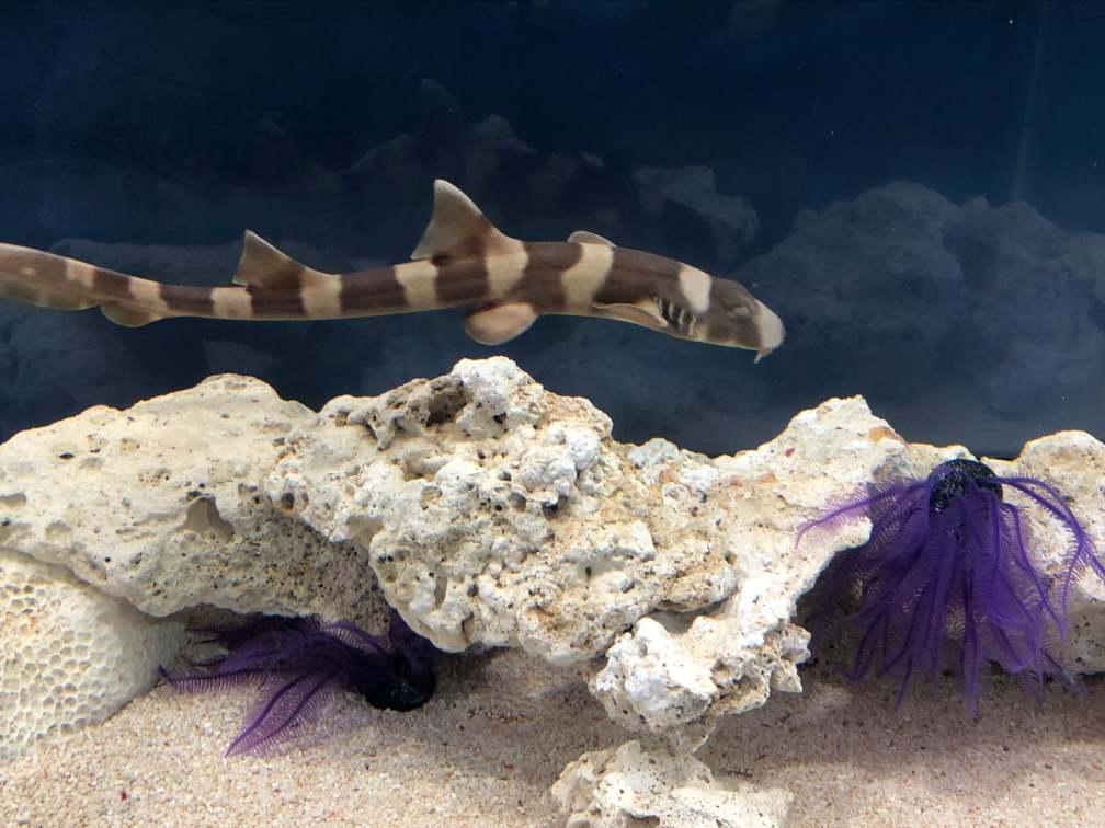 ベイツ型擬態:イヌザメの幼魚
