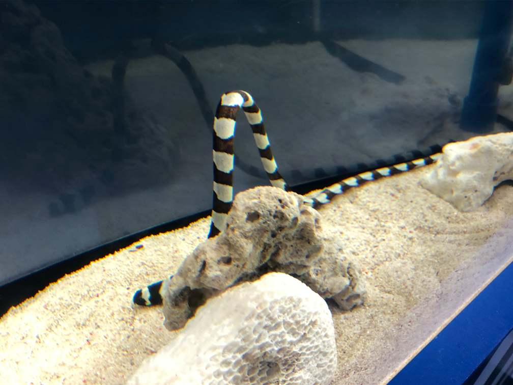 ベイツ型擬態:シマウミヘビ