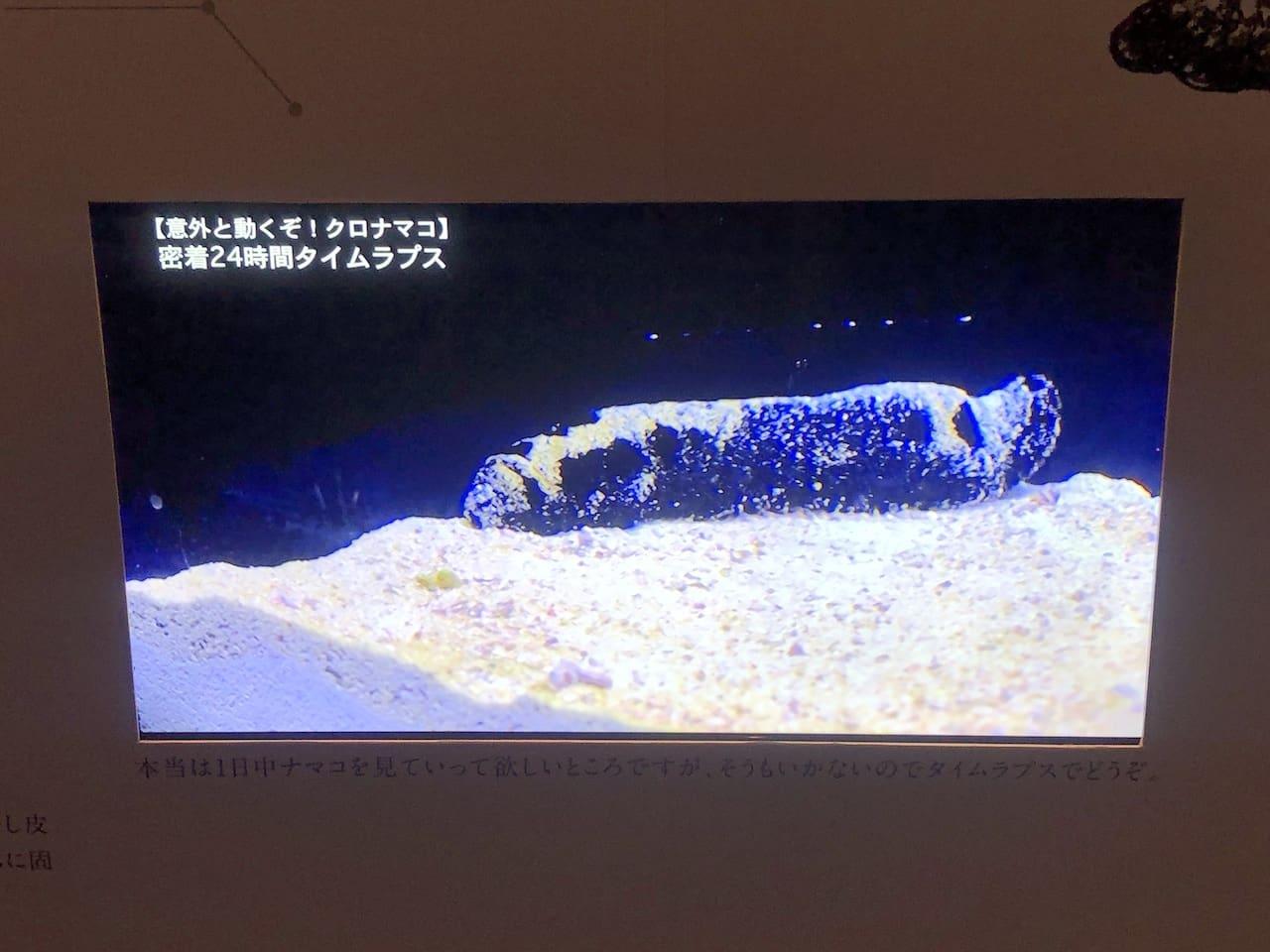 クロナマコの動きをタイムラプスで再生した映像